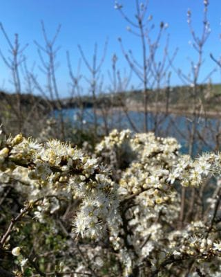 Hawthorn blossom is out across the Estate, painting the hedgerows in a beautiful white!   #Bantham #Devon #BanthamDevon #South #Spring #SouthDevonAONB #Woodland #Love