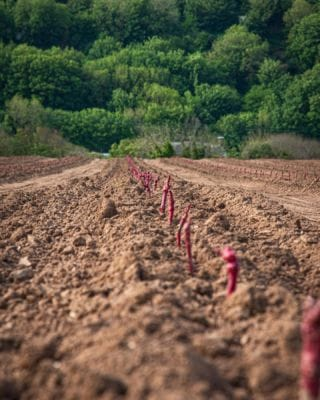 We are excited to announce we have planted our first Bantham grape vines, the Bantham team have been carefully preparing the soil for the past 3 years ready for planting. 30,000 vines were planted by a team in just 2 days! Watch this space for our new and exciting venture!   #Bantham #BanthamDevon #Devon #SouthDevonAonb #SouthWest #Love #Grapes #BanthamWine #Vines