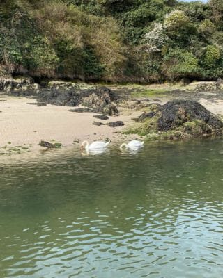 Our local residents out basking in the sun!   #Bantham #AONB #Devon #BanthamDevon #salcombe #Swans #SouthWest